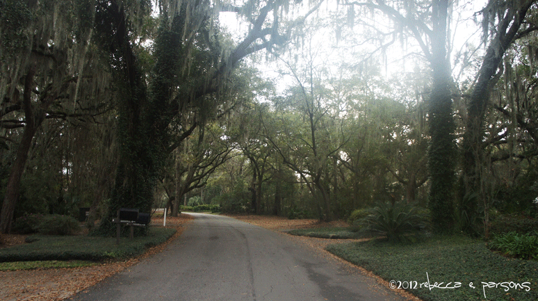 my morning walk under the Live Oaks with Spanish moss