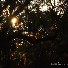 sun thru spanish moss draped oaks