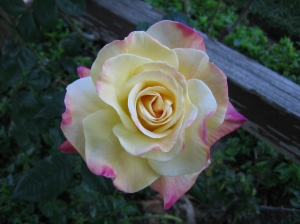 white rose with pink edges